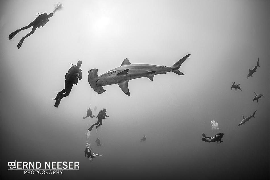 Schule von Hammerhaien