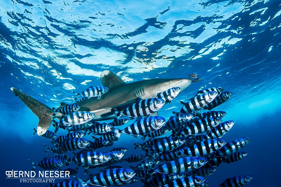 Longimanus mit Pilotfischen