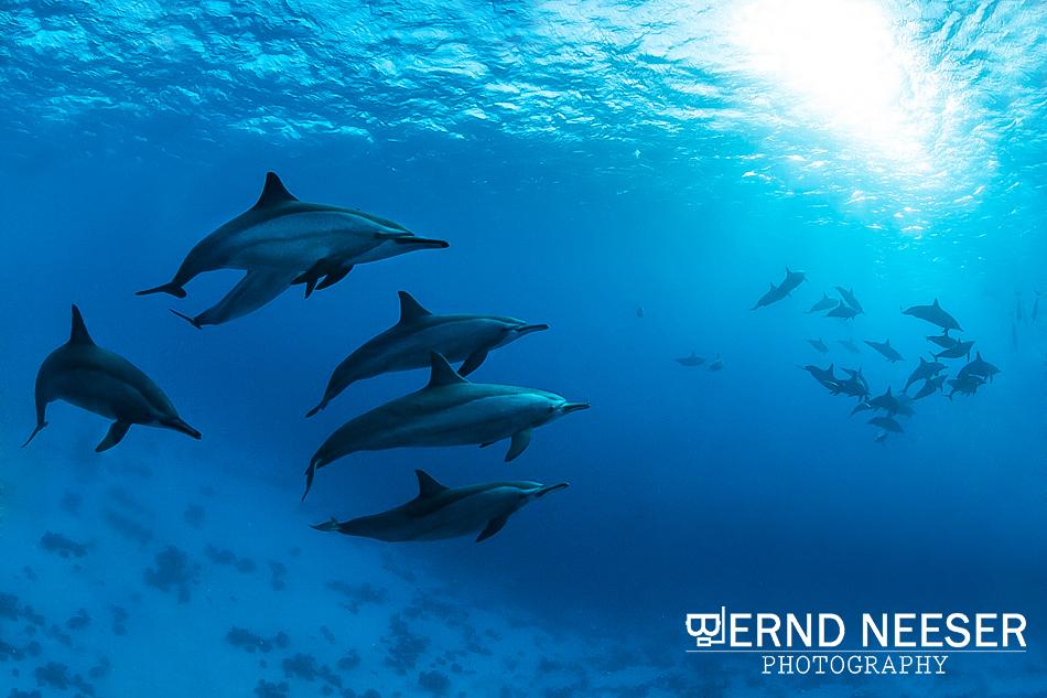 Schule von Delfinen